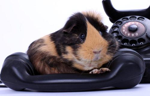 Meerschweinchen auf Telefonhörer, Freisteller